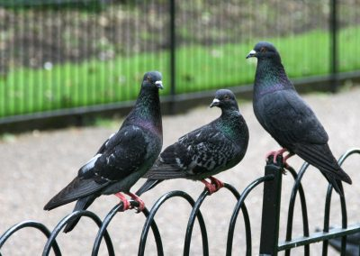 pigeons_hyde_park_london