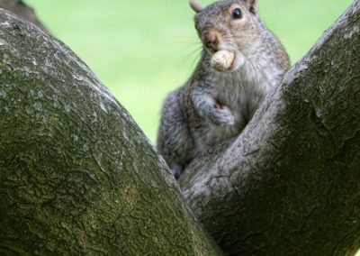 squirell_nut_hyde_park_london