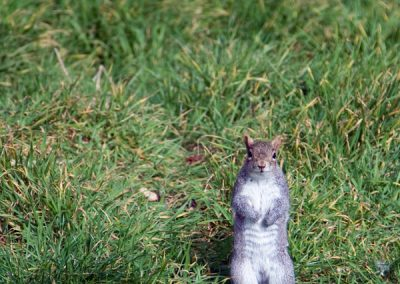 animals_cheeky_squirrel_grass_hyde_park_london_uk