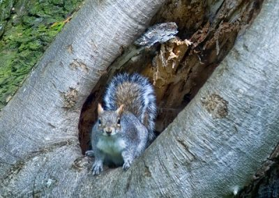 animals_cheeky_squirrel_tree_hyde_park_london_uk
