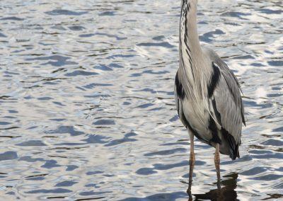 blue_heron_hyde_park_london_england_uk