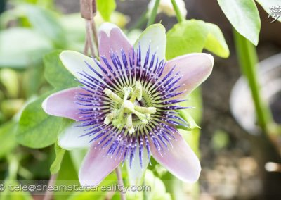 broomfield_park_conservatory_london_uk_purple-passionflower