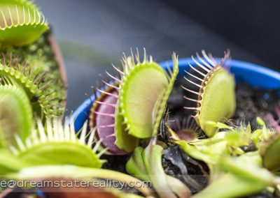 broomfield_park_conservatory_london_uk_venus_fly_trap