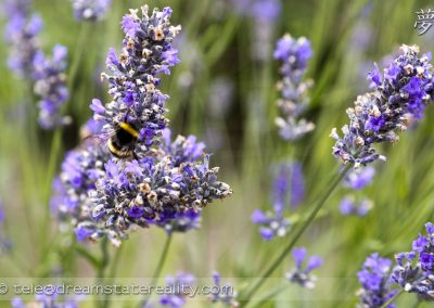 england_uk_nature_bee_lavender