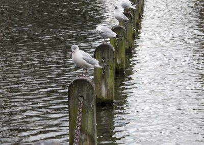 seagulls_hyde_park_london_england_uk